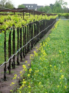 Springtime in The Vineyard