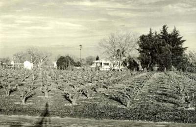 Mikami Vineyards 1960