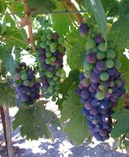Véraison - 2012 Mikami Vineyards