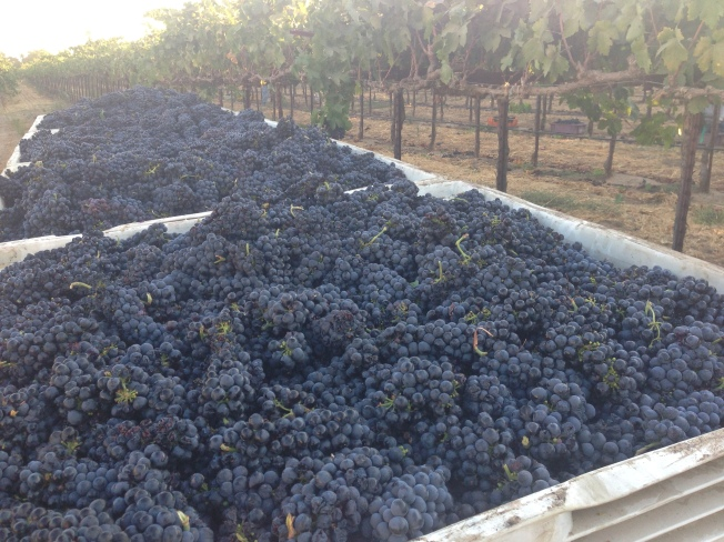 2014 Harvest - Mikami Vineyards