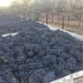 2014 Harvest - Mikami Vineyards